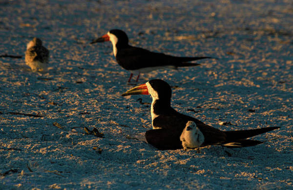 Photograph - Morning At The Skimmer Colony by Susan Molnar