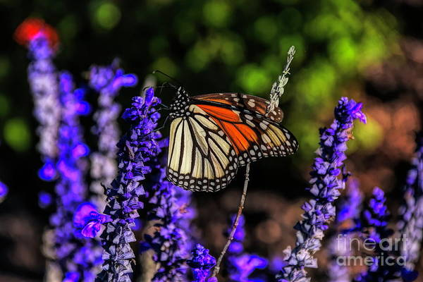 Photograph - Morning Butterfly by Diana Mary Sharpton