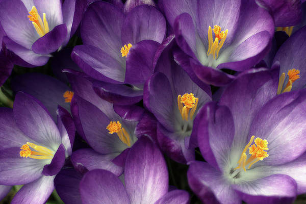 Photograph - Morning Crocus by Kathi Mirto