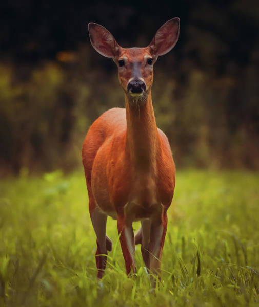 Wall Art - Photograph - Morning Deer In Ohio by Dan Sproul