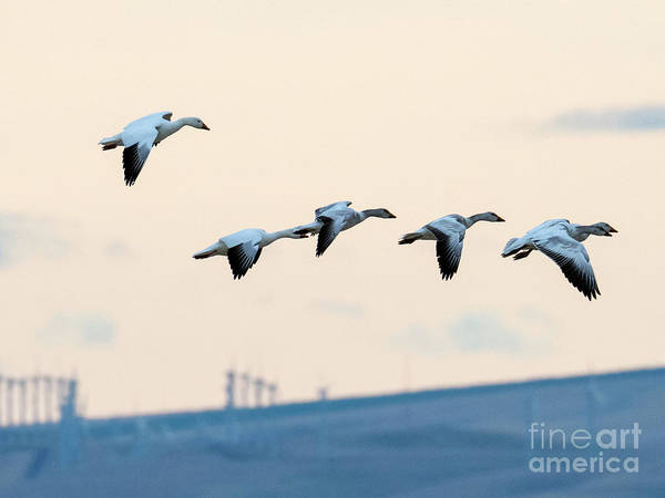 Snow Goose Photograph - Morning Flight by Mike Dawson