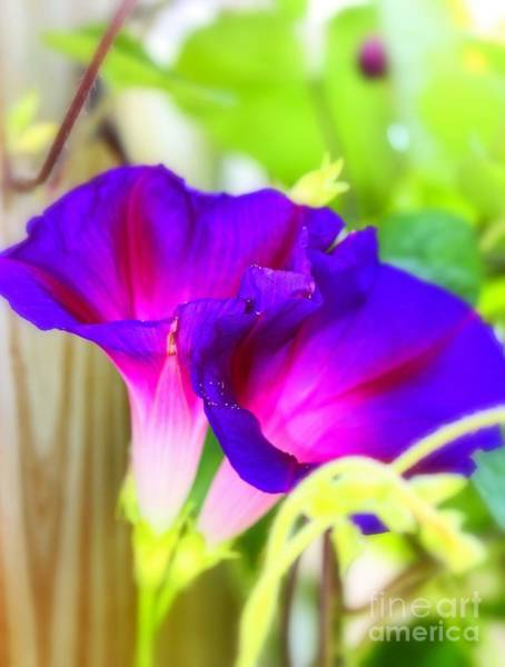 Photograph - Morning Glory by Patti Whitten