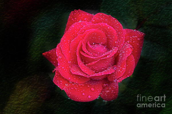 Photograph - Morning Mist On Red Rose by Bernd Laeschke