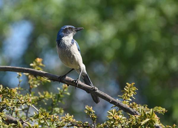 Scrub Jay Photograph - Morning Rays by Fraida Gutovich