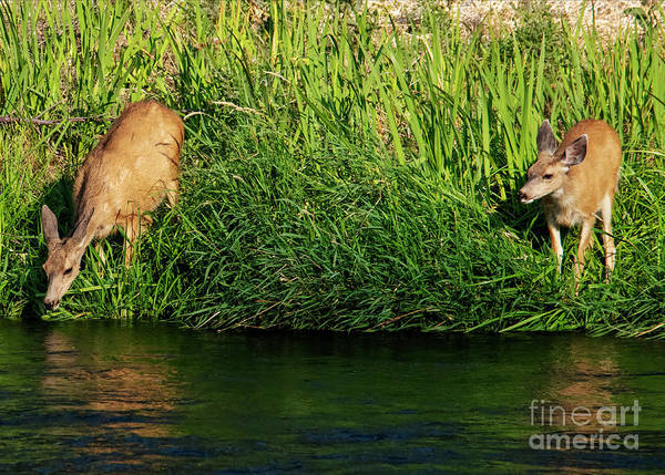 Doe Photograph - Morning Reflections by Mike Dawson