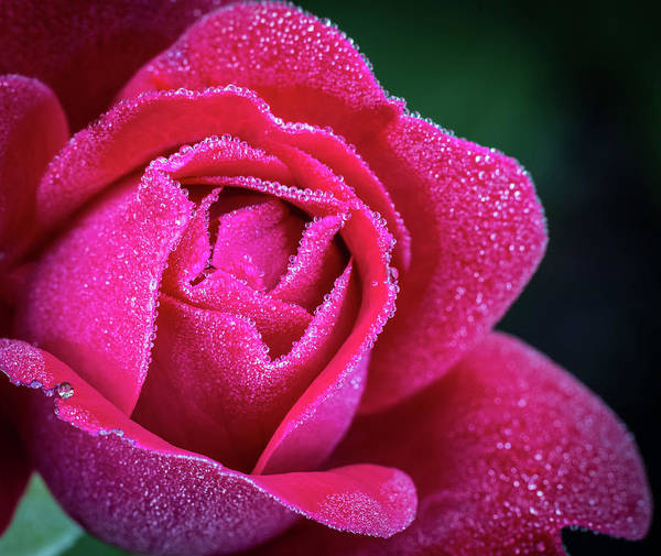 Photograph - Morning Rose by Brad Bellisle