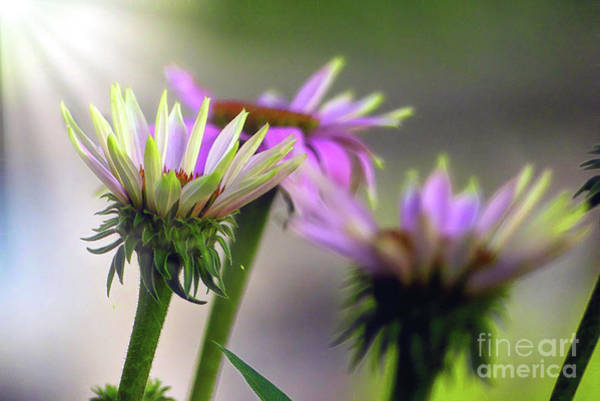 Photograph - Morning Sun On Pink Coneflowers by Amy Dundon