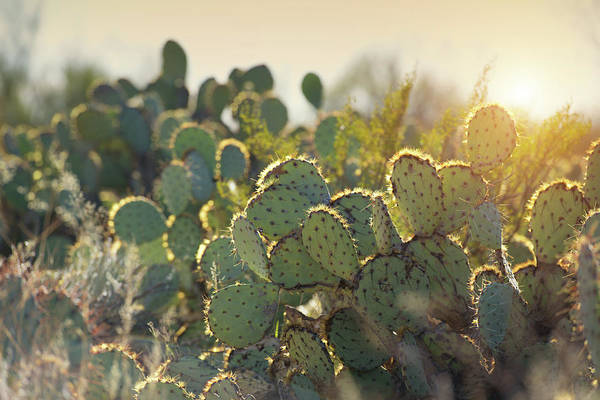 Sonoran Desert Photograph - Morning Sunrise Over Desert Cactus by Nkbimages