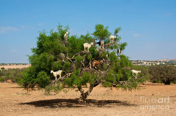 Daytime Wall Art - Photograph - Moroccan Goats In An Argan Tree Argania by Aerostato