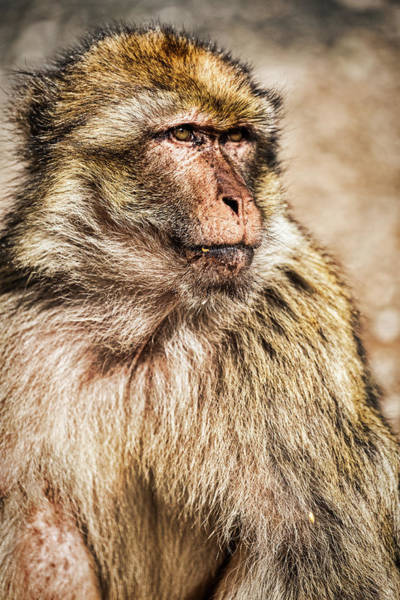 Photograph - Morocco Macaque by Stuart Litoff