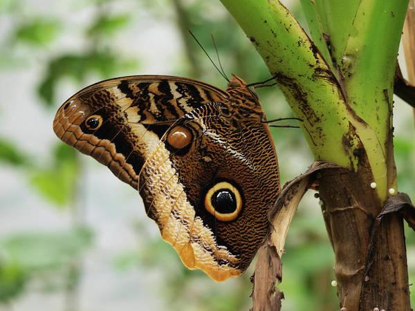 Butterfly Photograph - Morpho Peleides Butterfly by David Giraldo