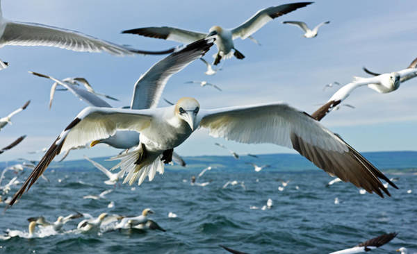 June Photograph - Morus Bassanus , Gannets, In Flight by Christina Bollen