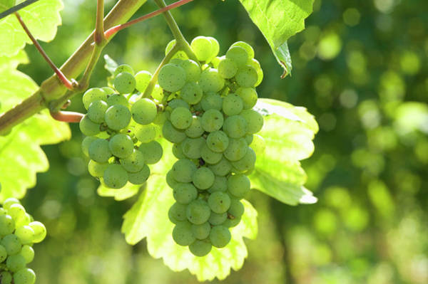 Winemaking Photograph - Mosel Riesling Grapes, Rhineland by Hans Georg Eiben / Look-foto