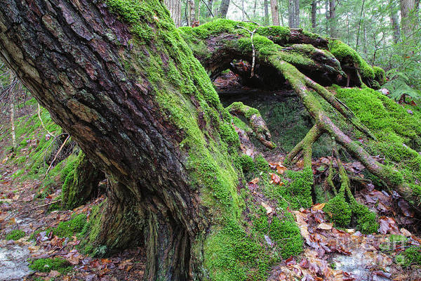 Photograph - Moss Covered Tree - White Mountains, New Hampshire by Erin Paul Donovan