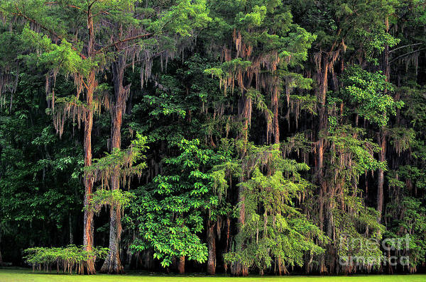 Photograph - Moss Covered Water Tupelo Trees Atchafalaya Basin Louisiana by Dave Welling