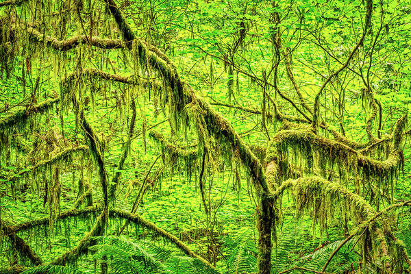Photograph - Moss On Curving Branches by Stuart Litoff