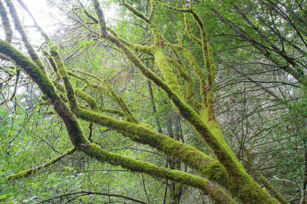 Photograph - Moss On Redwoods by Mark Duehmig