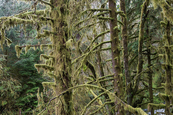 Photograph - Moss On Spruce Trees by Robert Potts