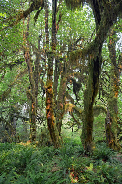 Photograph - Mossy Trees And Sunlight In The Hoh Rain Forest by Bruce Gourley