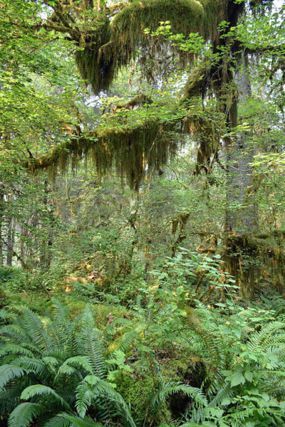 Photograph - Mossy Trees In The Hoh Rain Forest by Bruce Gourley