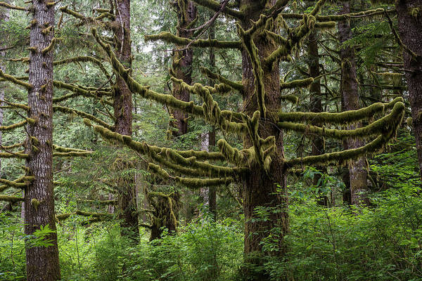 Photograph - Mossy Trees by Robert Potts