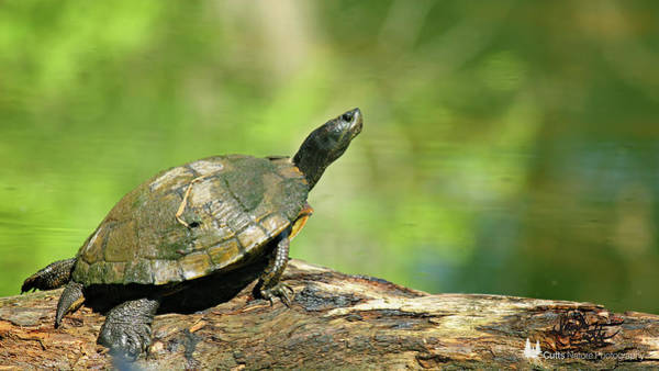Photograph - Mossy Turtle by David Cutts
