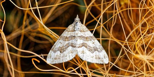 Photograph - Moth In A Witches Hair by KJ Swan