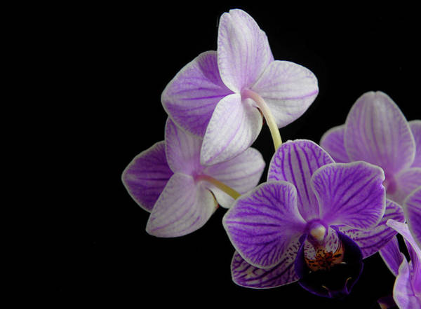 Photograph - Moth Orchid by Perry Correll