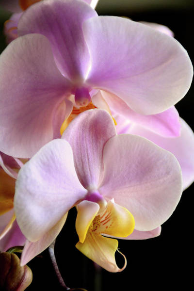 Photograph - Moth Orchids Sitting Near The Window by Angie Tirado