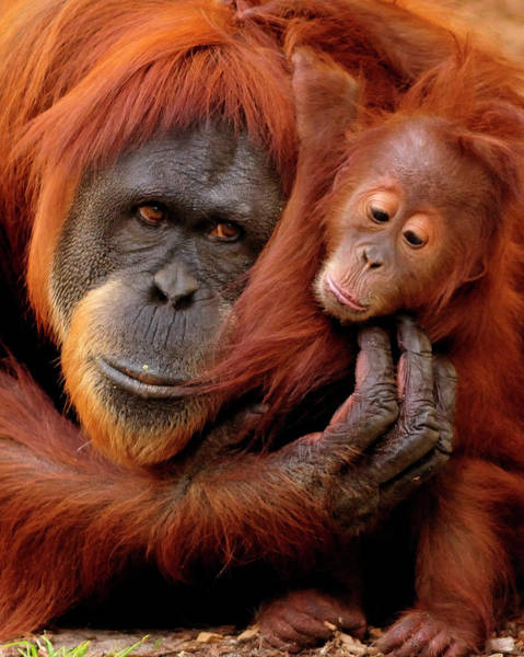 Orangutan Photograph - Mother And Baby by Andrew Rutherford  - Www.flickr.com/photos/arutherford1