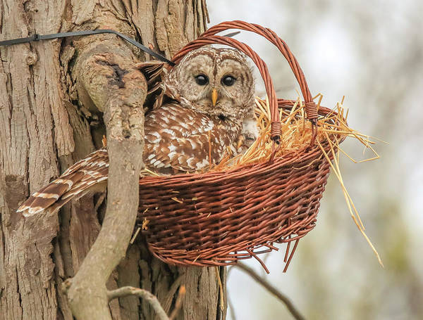Photograph - Mother And Baby Barred Owl In A Basket by Dan Sproul