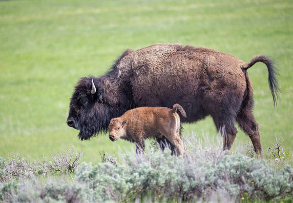Photograph - Mother And Baby Bison by Michael Chatt