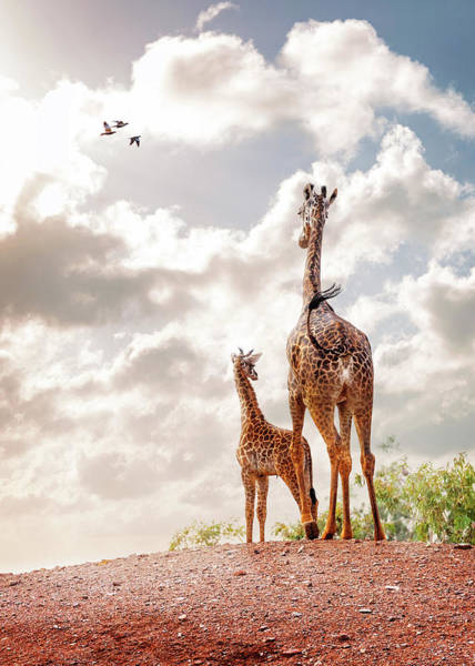 Wall Art - Photograph - Mother And Baby Giraffe Looking Out by Susan Schmitz