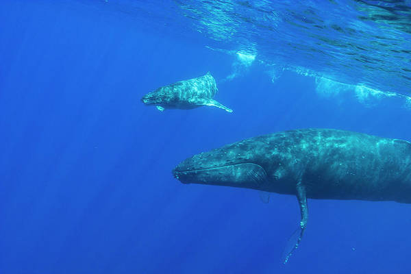 Wall Art - Photograph - Mother And Baby Humpback Whales,pacific by Stuart Westmorland