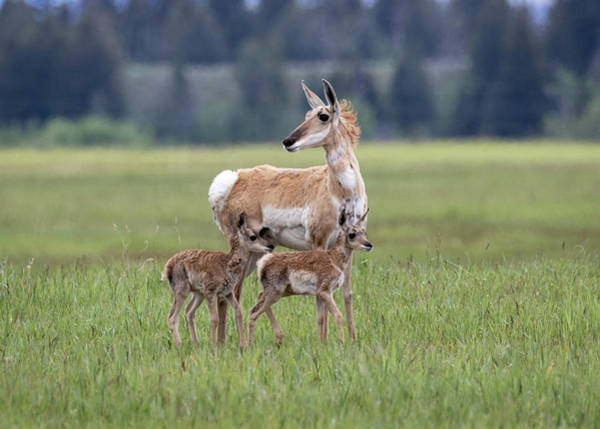 Photograph - Mother And Baby Pronghornantelope by Michael Chatt