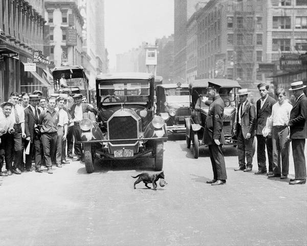 Daily News Photograph - Mother Cat Blackie Halts Traffic As She by New York Daily News Archive