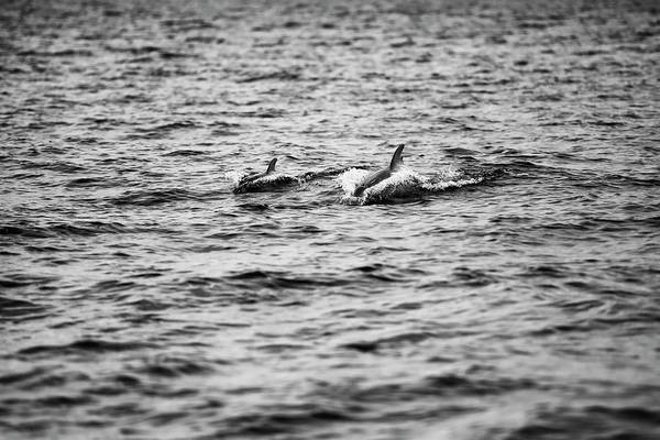 Mother Dolphin And Calf Swimming In Moreton Bay. Black And White Art Print