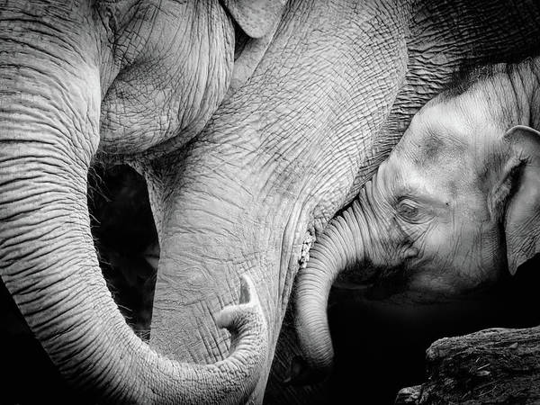 Vertebrate Photograph - Mother Elephant With Baby, Black And by Toos