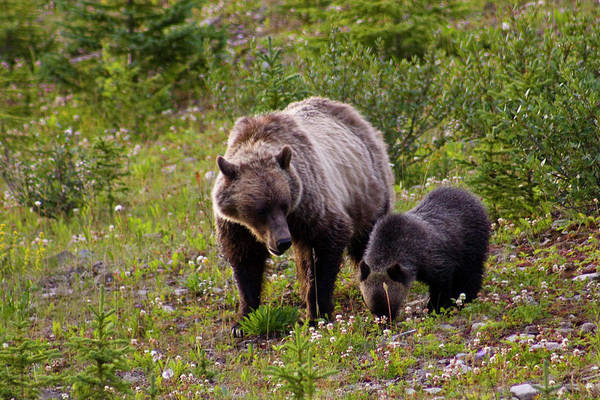 Bear Country Wall Art - Photograph - Mother Grisly Bear And Cub by Klassen Images