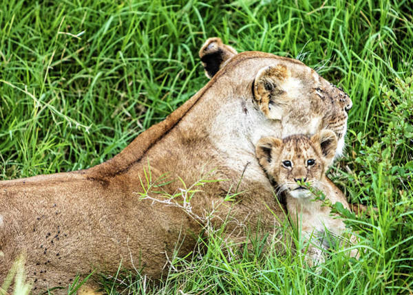 Wall Art - Photograph - Mother Lion And Baby Cub In Kenya Africa by Susan Schmitz