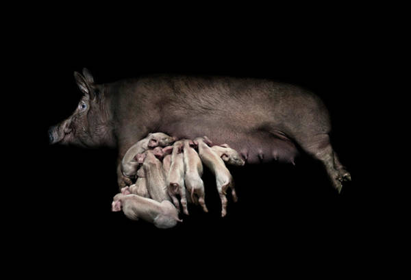Sow Photograph - Mother Pig And Piglets Suckling Black by Michael Duva