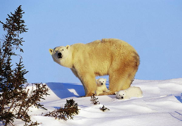 Art In Canada Photograph - Mother Polar Bear & Her Cubs, Canada by Art Wolfe