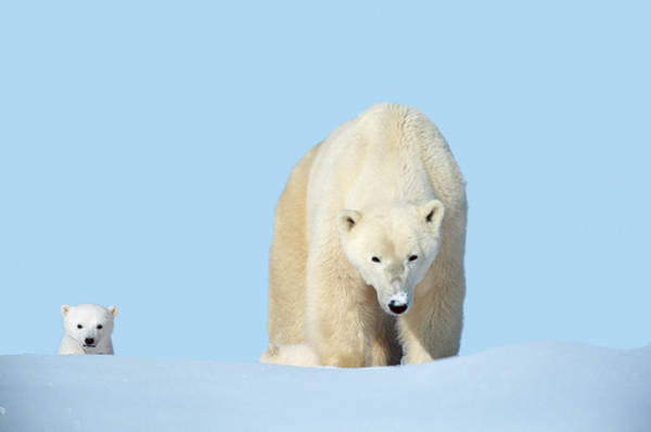 Art In Canada Photograph - Mother Polar Bear With Cub, Canada by Art Wolfe
