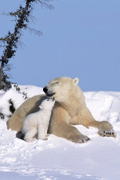 Art In Canada Photograph - Mother Polar Bear With Cub, Kissing by Art Wolfe