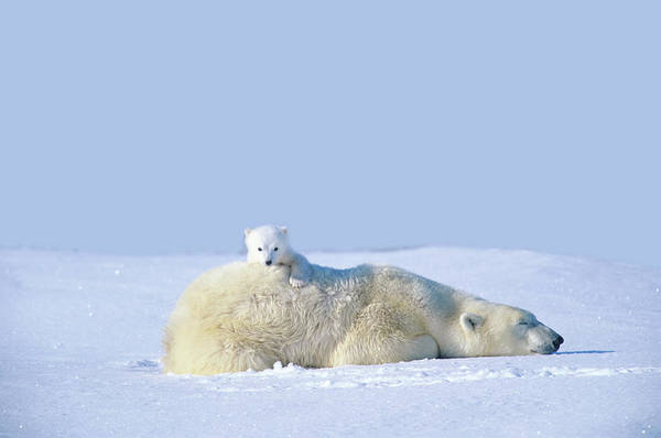 Urban Wildlife Photograph - Mother Polar Bear With Cub, Lying On by Art Wolfe