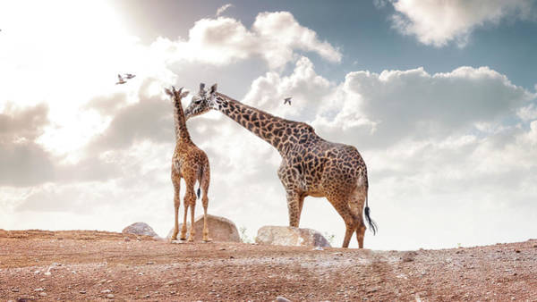 Wall Art - Photograph - Mother Showing Affection To Baby Masai Giraffe by Susan Schmitz