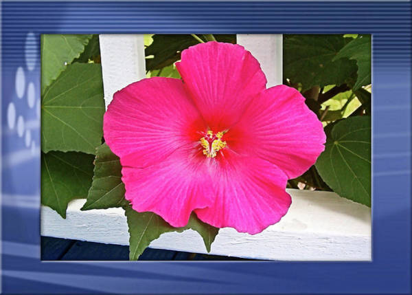 Photograph - Mother's Hibiscus  by Kathy K McClellan