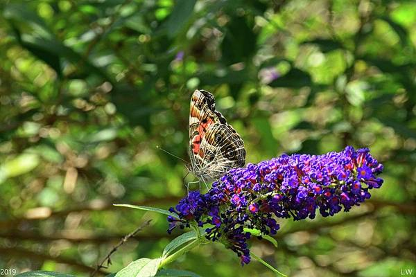 Photograph - Admiral Butterfly 2 by Lisa Wooten
