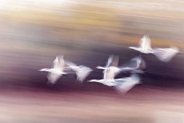 Wall Art - Photograph - Motion Blur, Flock Of Sandhill Cranes by Adam Jones