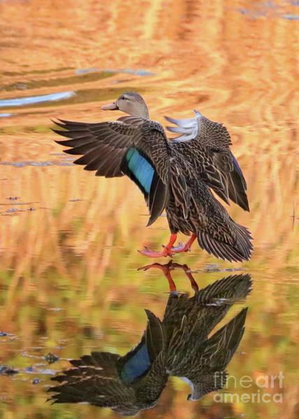 Photograph - Mottled Duck Landing On Golden Pond by Carol Groenen